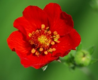 flower_red_green_221775